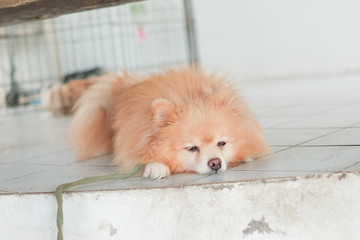 Sleepy Pomeranian dog on the floor. Adorable dog