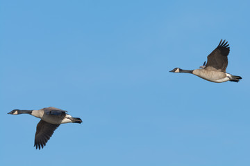 Two Canada Geese Flying Against a Blue Sky