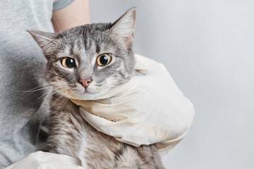 The veterinarian in white rubber gloves holding a gray domestic cat in her arms