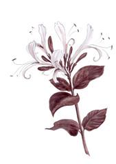 Sprig of honeysuckle - flowers and leaves.