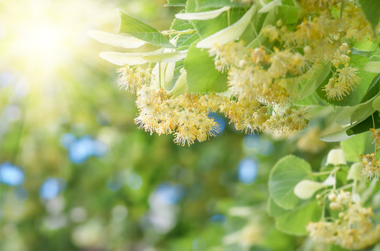 flowers blossoming tree linden tree, spring