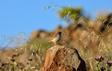 Small bird on stone  among oats in the prairie