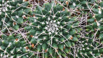 Mammillaria cerropietro