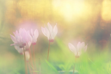 dreamy image of cyclamen flowers blooming in the forest.