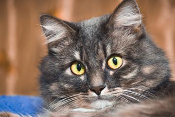 Beautiful Persian cat lying on the bed closeup