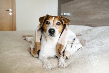 Adult Jack Russell Terrier lying, on the bed and wrapped in a blanket, looking at the camera, natural light