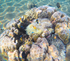 Coral reef on sand sea bottom. Sea corals and plants symbiosis.