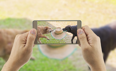 A man is using mobile phone for taking photo of two dogs are playing together, trying to grab a hat from each other in partial shade area of grass field