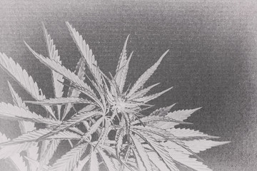 marijuana on cardboard background. cannabis on a paper .