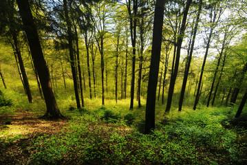 Buchen Wald