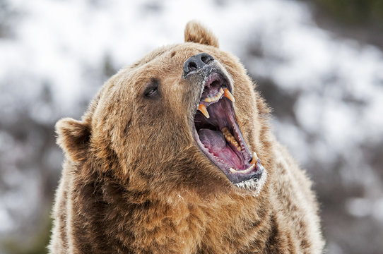 Grizzly with Open Mouth