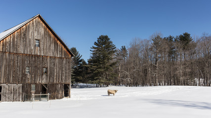 Old New England Barn and cow in winter