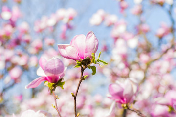 Beautiful blooming spring pink magnolia brunches