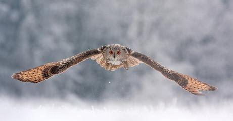 Eurasian eagle owl, bubo sibiricus