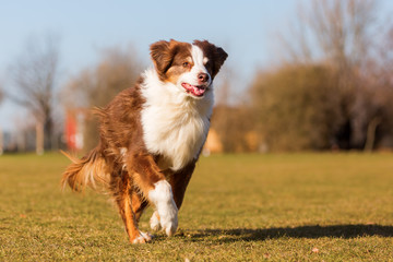 old Australian Shepherd runs on the meadow