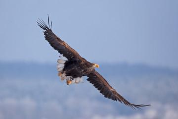 White-tailed eagle, haliaeetus albicilla, Czech republic
