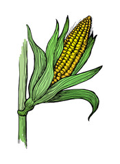 Hand drawn vector illustration of corn grain stalk sketch