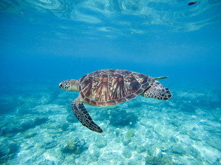 Wild green turtle swimming underwater in blue tropical sea.