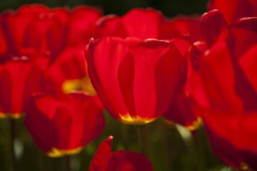 Spring tulips in the garden, spring blossom
