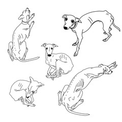 Set of skinny Italian Greyhounds.