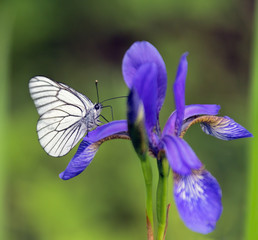 Butterfly sitting on a iris