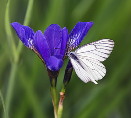 Butterfly sitting on a blue iris