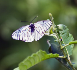 White butterfly on a green leaf, Russia