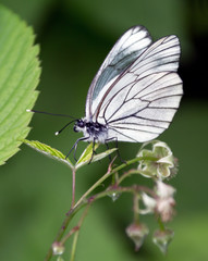 White butterfly on leaf of raspberries