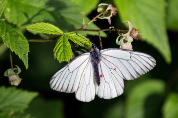 White butterfly on leaf of raspberries, Russia