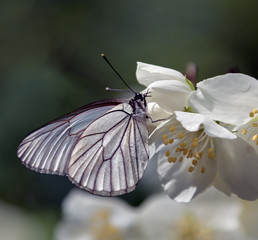 White butterfly sitting on a flower jasmine
