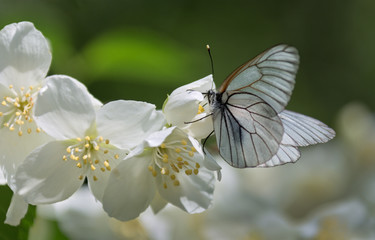 beautiful hite butterfly sitting on a flower jasmine