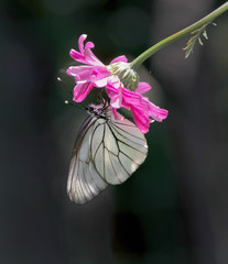 White butterfly hanging on the beautiful red flower