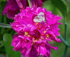 White butterfly hanging on the beautiful pink peony
