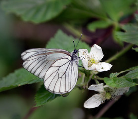 White butterfly sitting on leaf of flowering raspberries