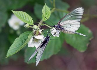 Two white butterfly sitting on leaf of raspberries