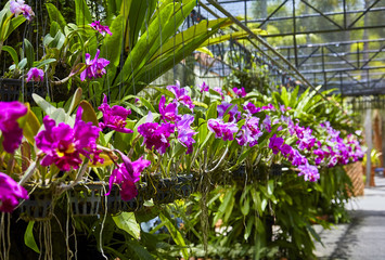 Purple orchids, Violet orchids. Orchid is queen of flowers. Orchid in tropical garden. Orchid in nature.