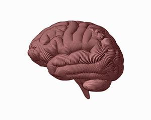 Brown engraving brain side view illustration