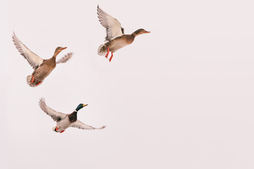 three wild ducks flying in the sky (hunting bird), isolated background