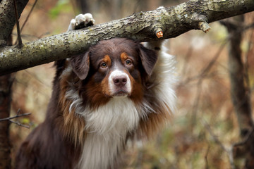 Dog Australian Shepherd in the forest