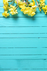 Border from yellow narcissus or daffodil flowers on aquamarine  wooden background.