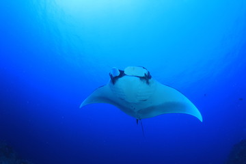 Manta ray swims over coral reef
