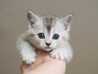 British kitten is being held in the hand