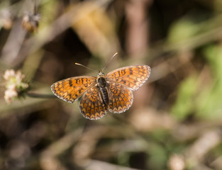 knapweed fritillary butterfly