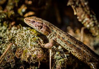 Common lizard, Zootoca vivipara