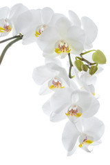 White orchid flower hanging