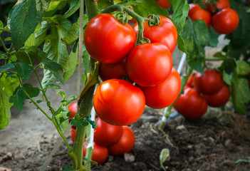 Ripe tomatoes in garden ready to harvest