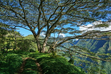 Path under a large tree with mountains in background, Tahiti, French Polynesia, south Pacific islands