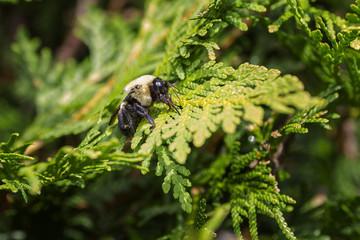 Bumblebee on a cedar