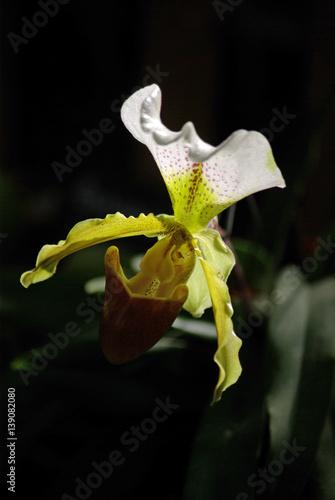 Orchid e sabot de v nus au lever du jour zdj - Orchidee sabot de venus ...