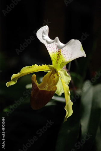 orchid e sabot de v nus au lever du jour zdj stockowych i obraz w royalty free w. Black Bedroom Furniture Sets. Home Design Ideas